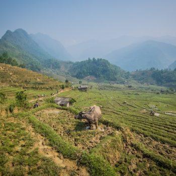 ricefields-waterbuffalo-Nam Cang - Sapa